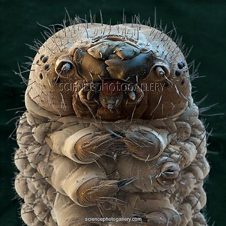 Silkworm, SEM