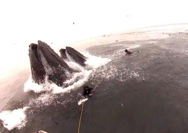baleia engolindo mergulhador