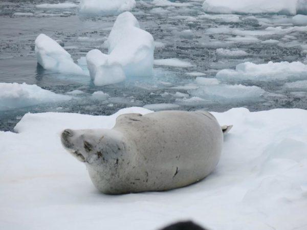 crabeater-seal