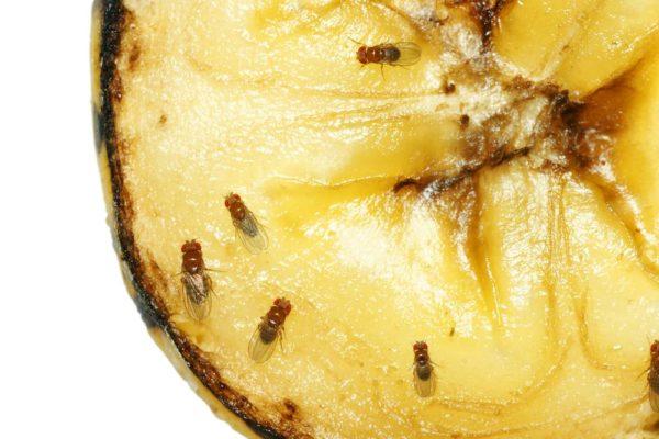 fruitfliesorganicfood