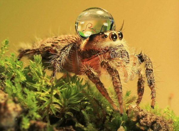 jumping-spider-waterdrop-hats-uda-dennie-4