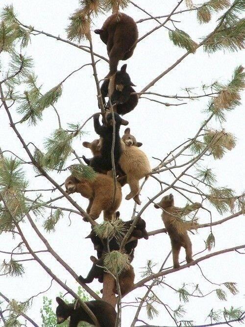pe de urso