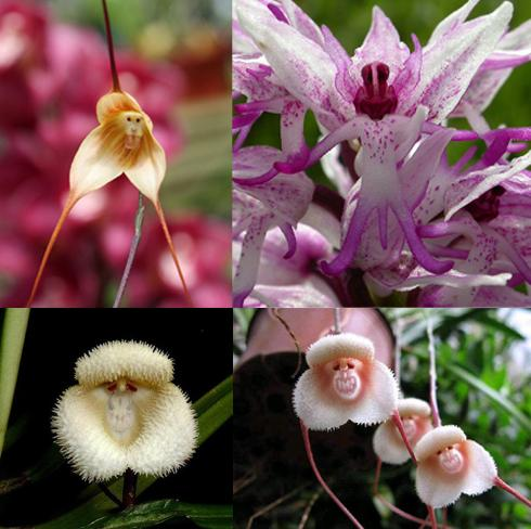 1 monkey-orchid