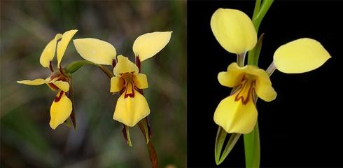 10 donkey-orchid