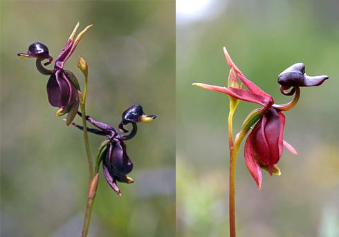 2 flying-duck-orchid
