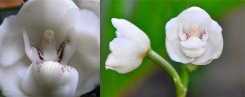3 dove-orchid
