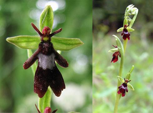 4 fly-orchid