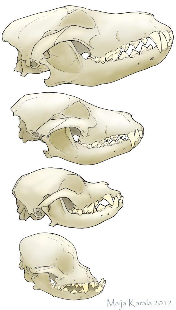 Crânio de lobo, Husky Siberiano, Lhasa Apso e Pequinês