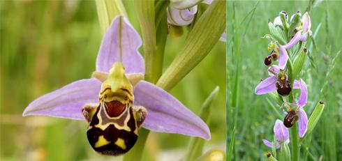 6 bee-orchid
