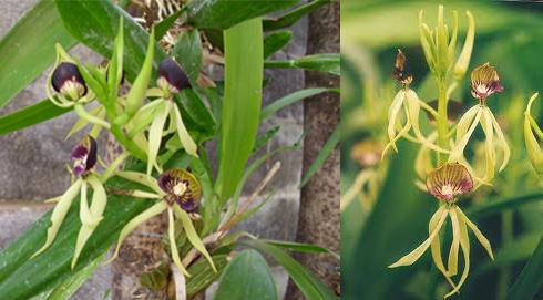 7 green-squid-orchid