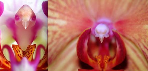 8 bird-head-orchid