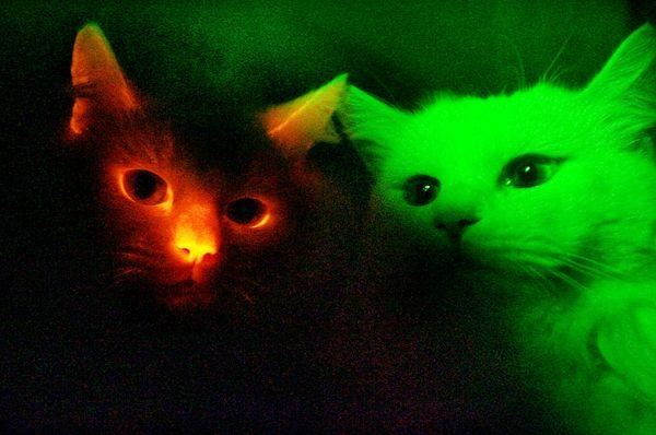 cats-cloned-glowing-animals_11832_600x450