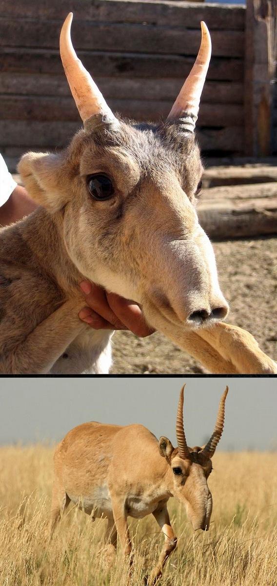saiga animal estranho
