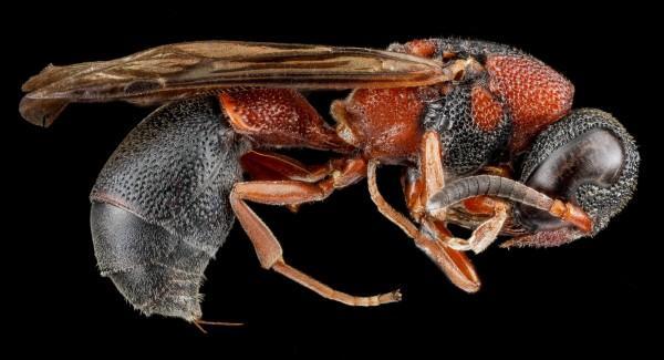 Abelha (Leptochilus acolhuus), em Flórida