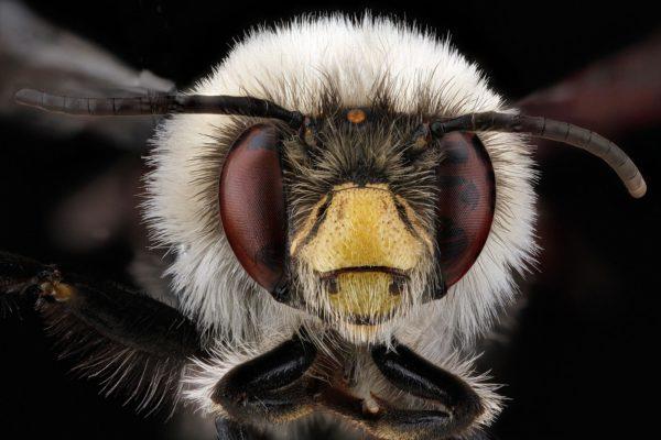 Abelha (Anthophora bomboides), em Allegany County, Maryland, maio de 2012