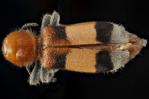 Besouro (Enoclerus ichneumoneus), em Prince George's County, Maryland, 2012