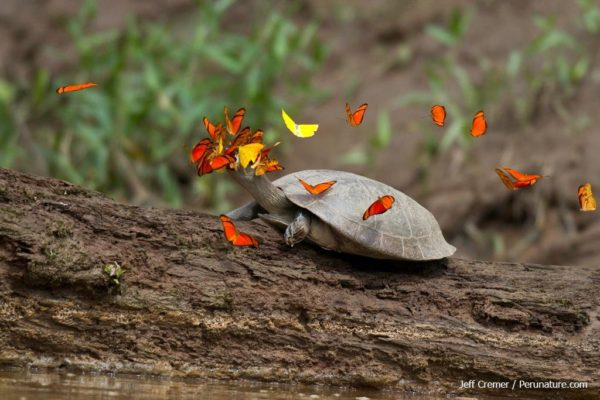 butterflies-turtle-tears-4