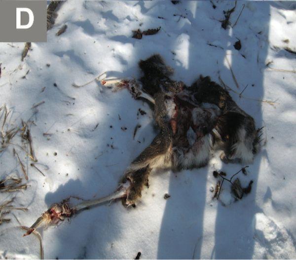 deer-carcass