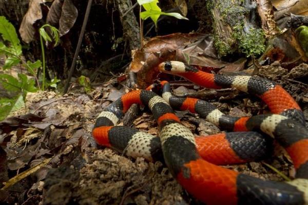 A falsa-coral não é tão perigosa quanto as cobras corais verdadeiras, mas também possui veneno