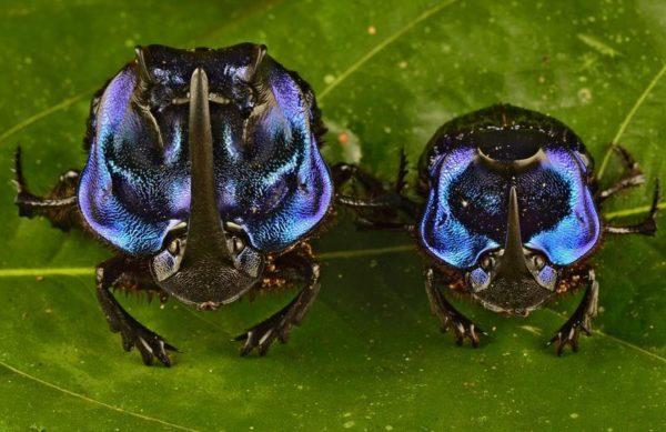 Este é um dos maiores escaravelhos da América do Sul, mas não se alimenta de fezes, e sim de corpos em decomposição. Além da cor, o besouro tem outra particularidade: a fêmea da espécie também tem chifre, como o macho