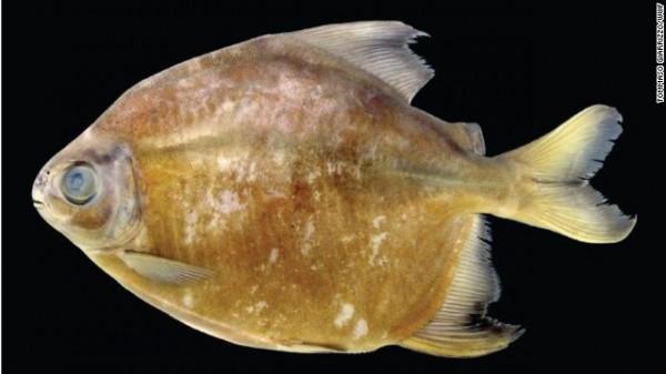 Tometes camunani - Uma espécie herbívora de piranha foi achada na bacia do rio Trombetas, no Brasil