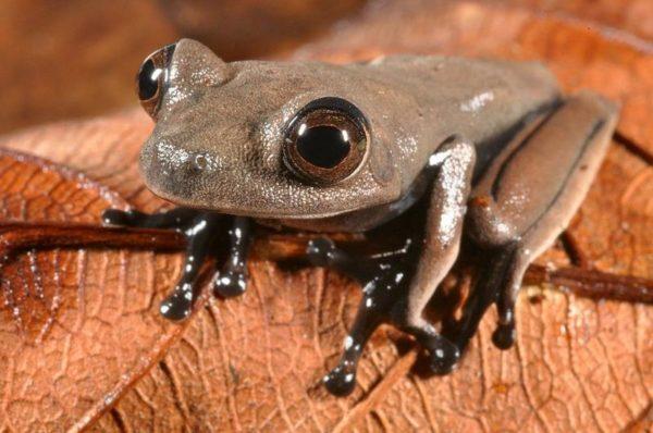 O sapo cacau, com sua cor de chocolate, é um dos animais novos para a ciência