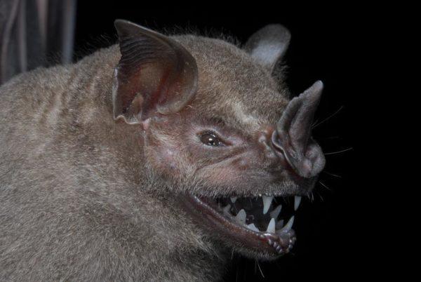 Este é um morcego frugívoro, o mais abundante da região. Seus dentes servem para apanhar e comer frutas maiores. 28 espécies de morcegos foram catalogadas na expedição