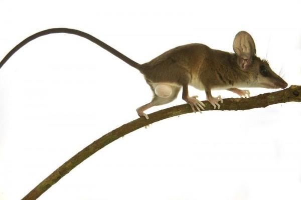 Um gambá magro e delicado, que se alimenta de insetos e frutas. Outras 39 espécies de mamíferos pequenos foram catalogadas na expedição