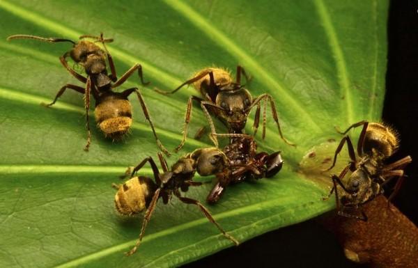 Formigas são importantes para a floresta, já que ajudam a consumir os cadáveres de animais mortos