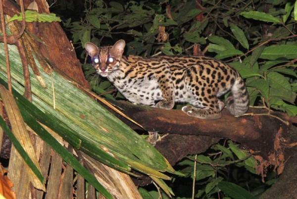 Um margay, tipo de gato selvagem, extremamente tímido e difícil de ser observado diretamente