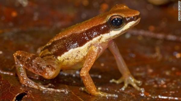 Allobates amissibilis - Possivelmente altamente ameaçado, este anfíbio encontrado na Guiana é a terceira espécie Allobates encontrada lá