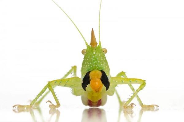 A maioria dos catidídeos são herbívoros, mas este come insetos e outros invertebrados