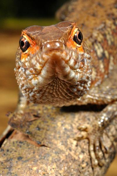 O Neusticurus bicarinatus é um lagarto semi-aquático, uma das 21 espécies de lagartos encontrados pelos cientistas.