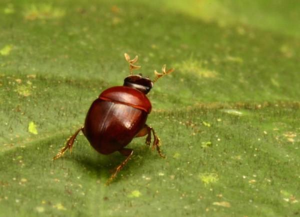 """O """"besouro liliputiano"""", com apenas 2,3 mm, é o segundo menor escaravelho conhecido, muito importante para o ecossistema; ele enterra fezes de animais, isolando e regulando parasitas e doenças, e também ajuda a dispersar sementes e a reciclar nutrientes"""