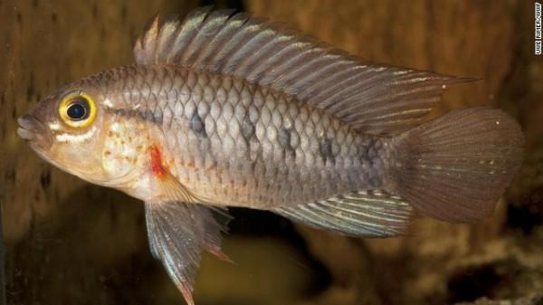 Apistogramma cinilabra - Este animal faz parte da família ciclídea de peixes de água doce, e está potencialmente ameaçado de extinção
