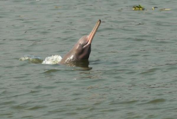 Golfinho-do-ganges golfinhos
