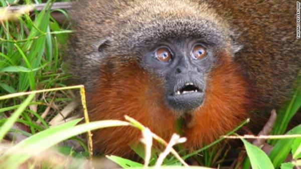 Callicebus caquetensis - Cerca de 20 espécies de macacos sauá vivem na bacia amazônica. Esta espécie recém-descoberta ronrona como um gato