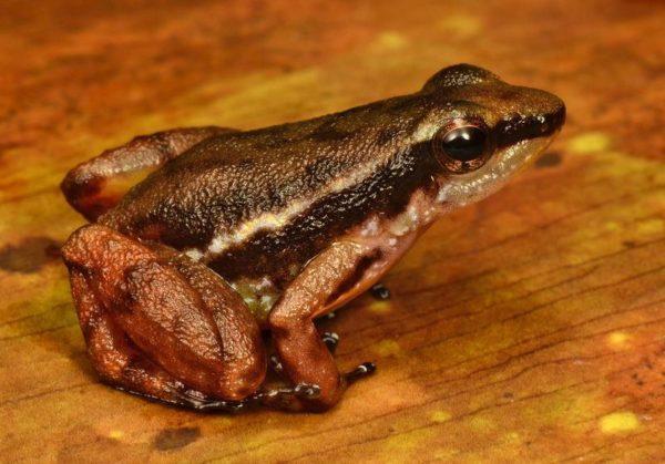 Este sapo venenoso tem uma coloração diferente do que a de uma espécie similar, indicando que pode ser uma nova espécie