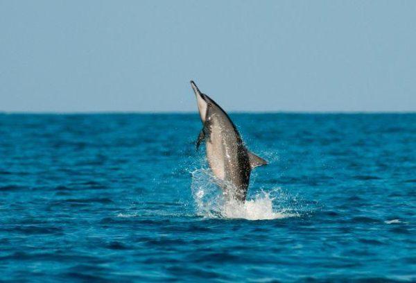 Golfinho-rotador golfinhos
