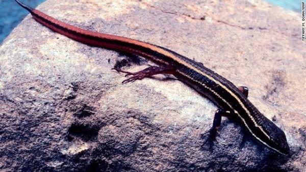 Cercosaura hypnoides - Cientistas conseguiram coletar filhotes a partir de ovos deste lagarto evasivo, na Colômbia