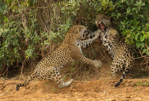 """""""The spat"""", ou """"A disputa"""", de Joe McDonald (EUA), vencedor na categoria """"comportamento: mamíferos"""""""