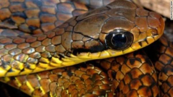 Chironius challenger - Nas montanhas do norte da Amazônia, a descoberta de serpentes é rara, mas esta foi encontrada em Tepuis, a 1.500 metros de altitude