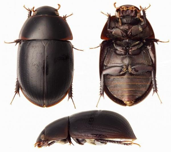 Este besouro d'água representa não apenas uma nova espécie, mas, como no caso do catidídeo, um novo gênero. Além deste, foram encontrados outras 25 espécies novas de besouros d'água