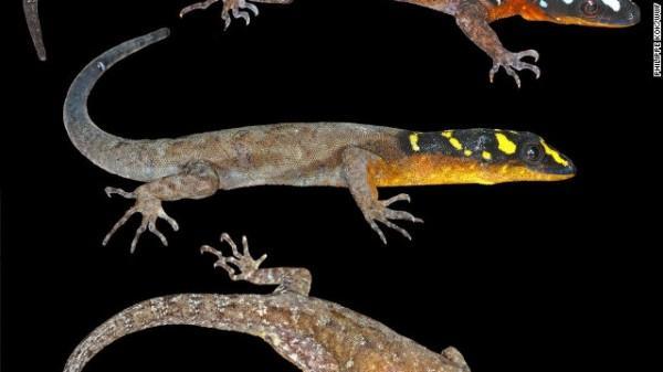 Gonatodes timidus - Na Guiana, este lagarto, que possui cabeça preta com listras e manchas irregulares, pode evitar de ser visto se movendo entre rochas