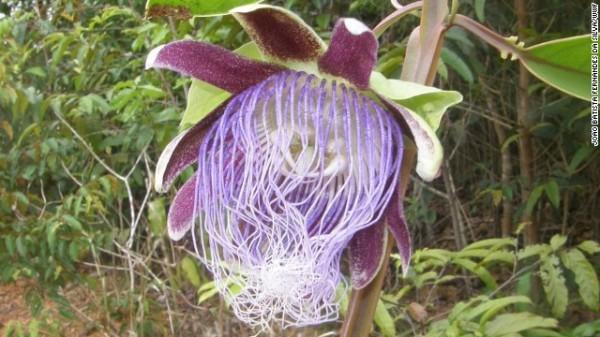 Passiflora longifilamentosa - Essa nova espécie de flor de maracujá, com filamentos que lembram espaguete, foi encontrada no estado do Pará, no Brasil