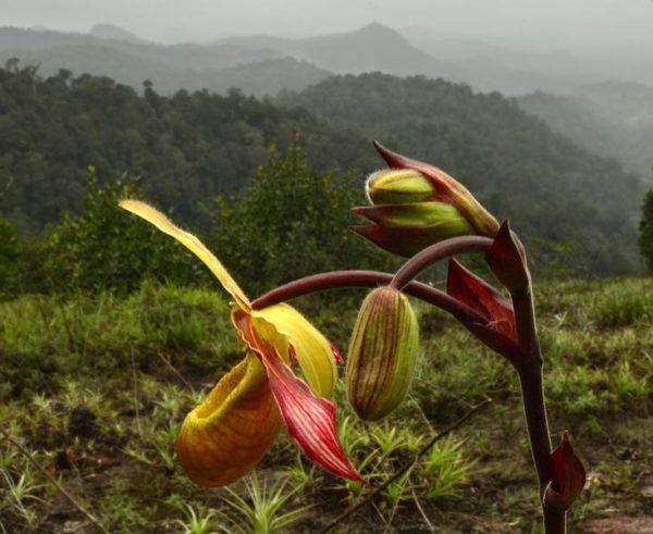 Uma bela e rara orquídea, encontrada em na cadeia das Montanhas Grensgebergte