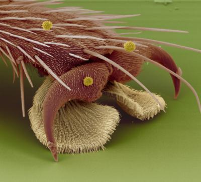 Pata de uma mosca comum