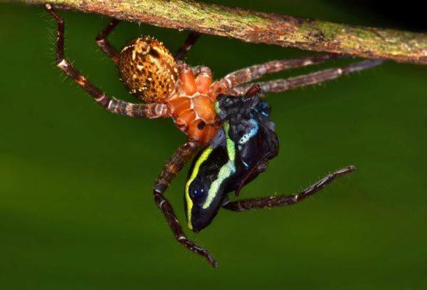 Flagrante raro: uma aranha se alimentando de um sapo venenoso