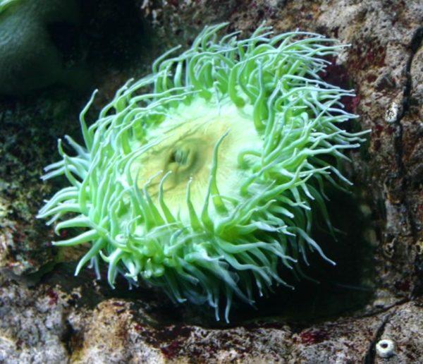 Anemona do mar gigante
