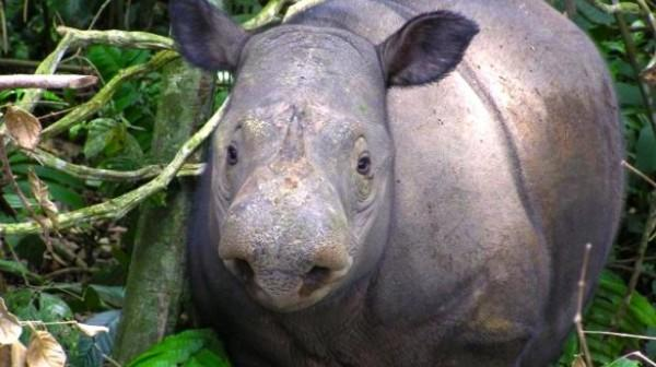 Undated-photo-received-from-World-Wildlife-Fund-Indonesia-on-September-22-2013-shows-a-critically-endangered-Sumatran-rhino-WWF-INDONESIA_AFP_File-615x345